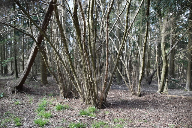 Coppiced trees
