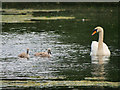 SD8611 : Swan and Cygnets, Queen's Park Lake by David Dixon