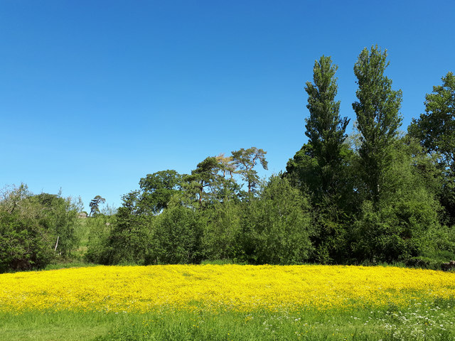 Buttercup meadow near Eastleach Martin