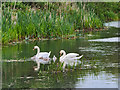 SD7909 : Swans on the Canal (day 6) by David Dixon