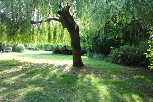 Willow tree by Yeading Walk