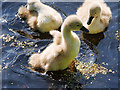 SD7909 : Eight-day-old Cygnets by David Dixon