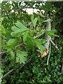 TF0820 : Hawthorn in hedgerow - 28 by Bob Harvey