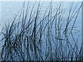 SK6944 : Rushes in the River Trent by Alan Murray-Rust