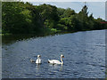 SE3521 : Swans on the Aire and Calder Navigation by Stephen Craven