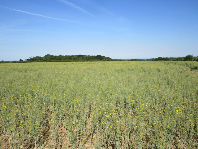 Field of oilseed rape and Dembleby Gorse