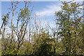 TV5898 : Ash dieback in Paradise Wood, Eastbourne by Adrian Diack