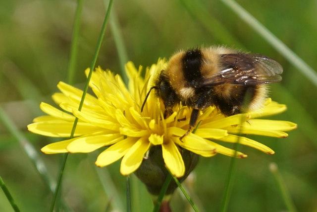 Garden Bumblebee (Bombus hortorum), Baltasound