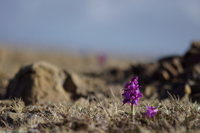 Early Purple Orchid (Orchis mascula) on the Keen of Hamar