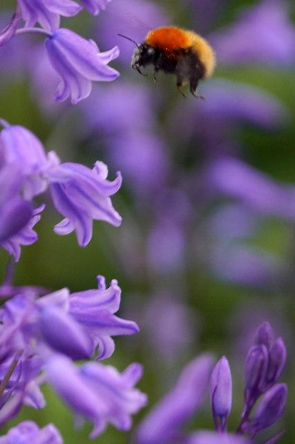 Shetland Bumblebee (Bombus muscorum agricolae), Valyie, Norwick