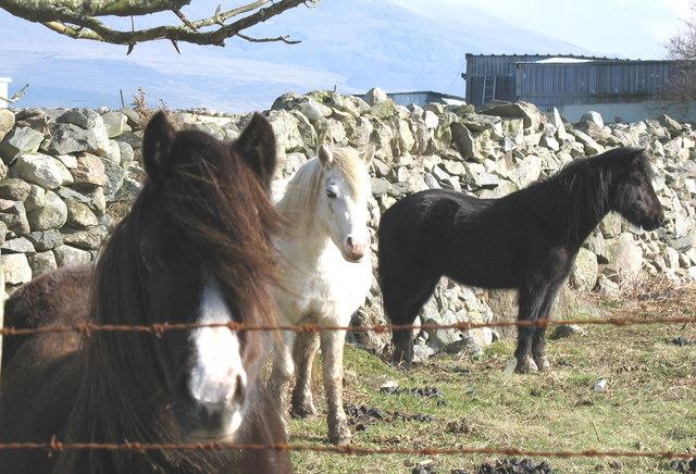 Ponies at Pen y Buarth Farm