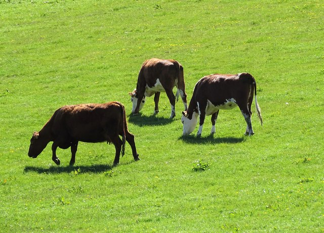 Beef cattle at Hown's Farm