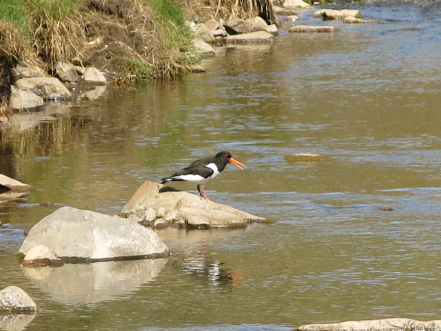 Oyster catcher on a rock in the River Nent below Far Hilltop