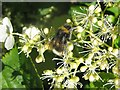 NT2470 : White-tailed Bumblebee by M J Richardson