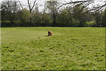 TQ5941 : Pony grazing, Oak Road Doorstep Green by N Chadwick