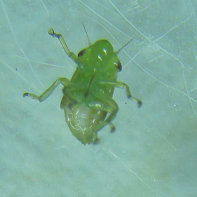 Froghopper nymph - ventral view