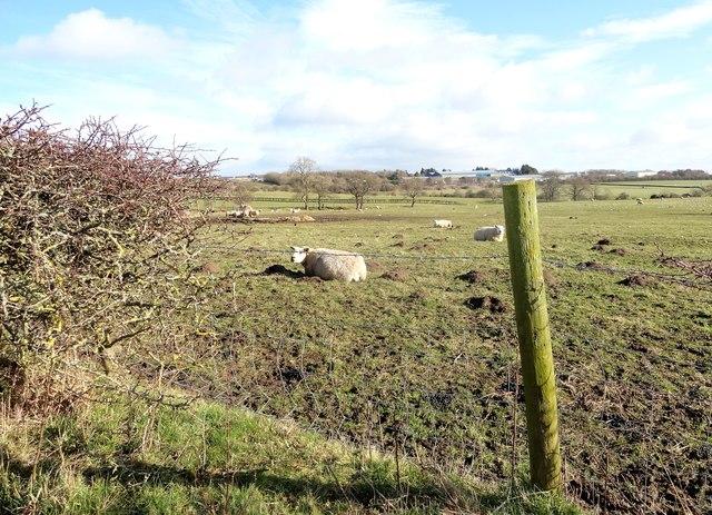 Sheep beside Knitsley Lane