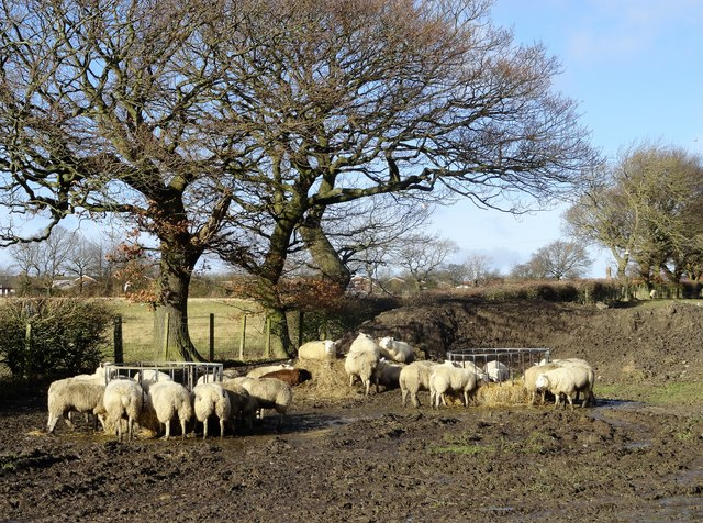 Sheep beside Butsfield Lane