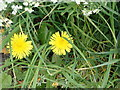 SJ1160 : Hedgerow flowers - Dandelion by Eirian Evans