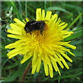 NT2469 : Red-tailed Bumblebee on Dandelion flowers by M J Richardson