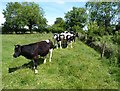 NY2560 : Friesian bullocks near Glasson by Adrian Taylor