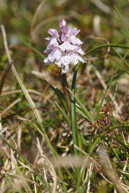 Heath Spotted Orchid (Dactylorhiza maculata), Hermaness