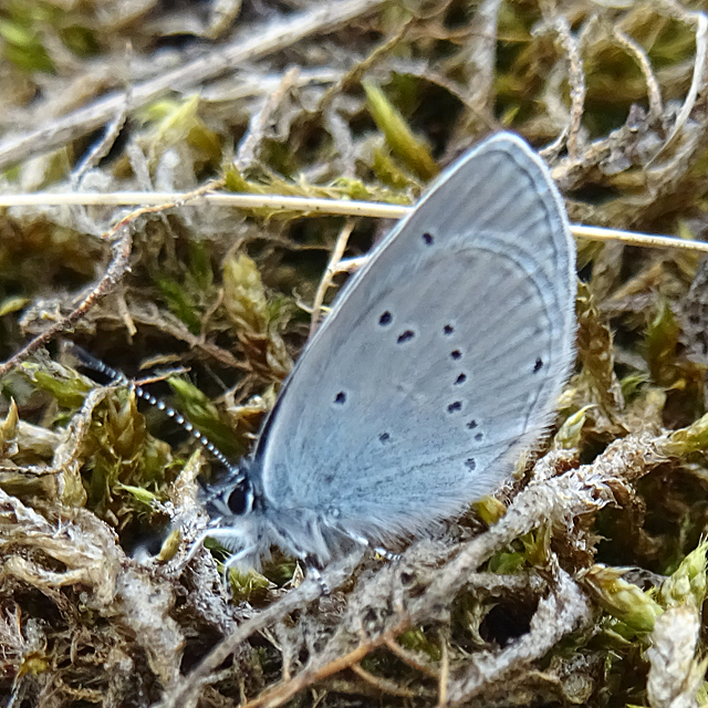 Small Blue Butterfly (Cupido minimus)