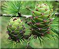 NJ3362 : Larch Cones by Anne Burgess