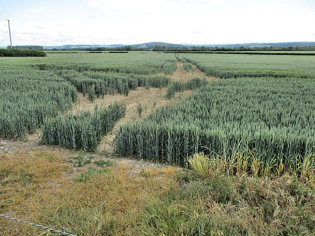 Ripening Grain