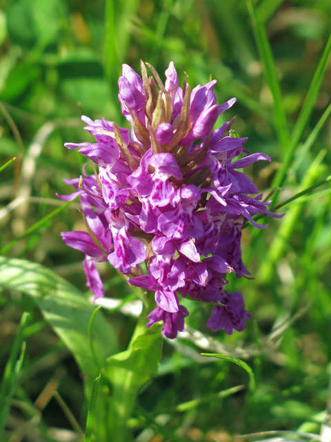 Early marsh orchid by the track to Fell House