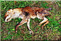 TL2555 : Remains of a fox by Tiger