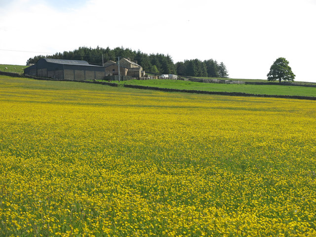 Buttercup meadow by Moorhouse Gate
