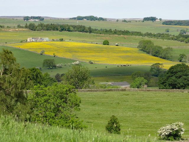 Buttercup meadow below High Broadwood Hall