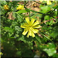 NT2469 : Nipplewort flowers - detail by M J Richardson