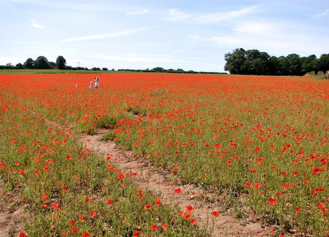 A field of wild poppies