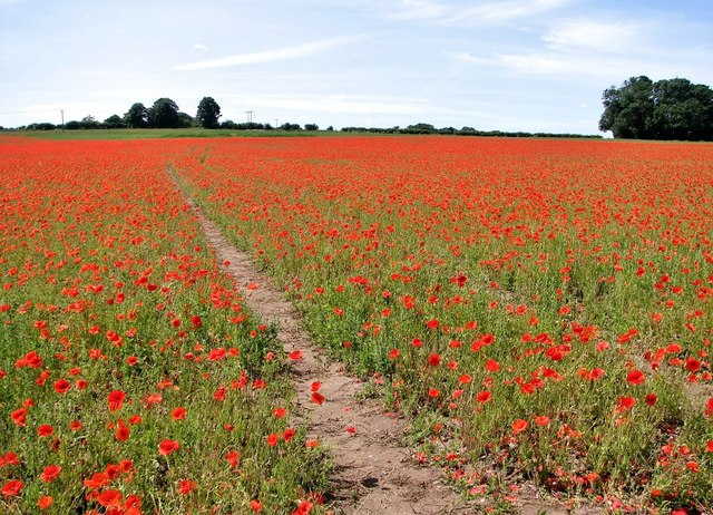 Track in a field of wild poppies