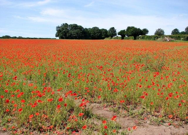 Poppies galore at Keswick