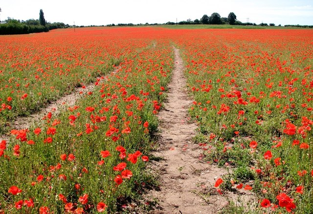 Tractor tracks in a field of poppies