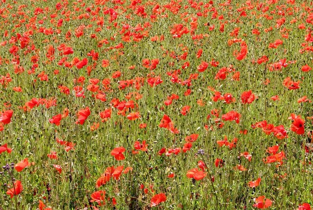 A rich crop of poppies
