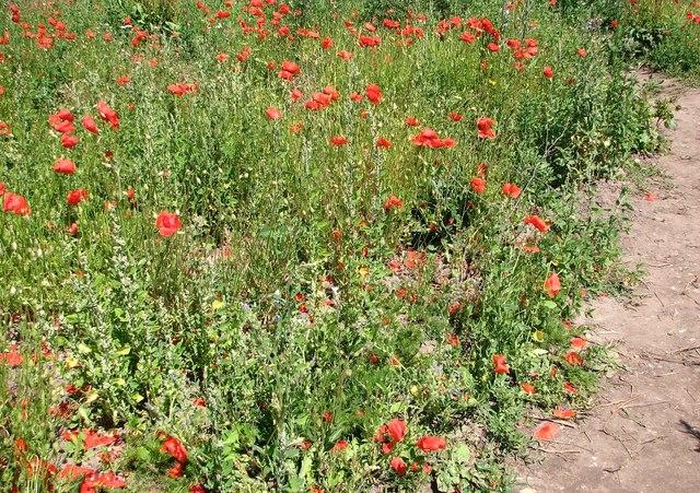 Wild flowers in a fallow field