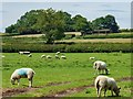 SK3513 : A sheep field off Babelake Street, Packington by Oliver Mills