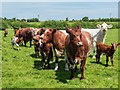 SK3613 : A mob of cows after giving chase, near Redburrow Farm, Packington by Oliver Mills