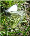 NJ3553 : Green-veined White Butterflies by Anne Burgess