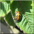 NT2271 : 7-spot Ladybird larva - Coccinella septempunctata by M J Richardson