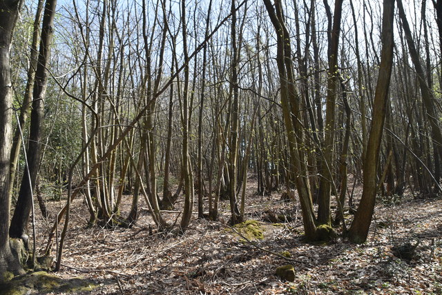 Coppicing, Gregg's Wood by N Chadwick