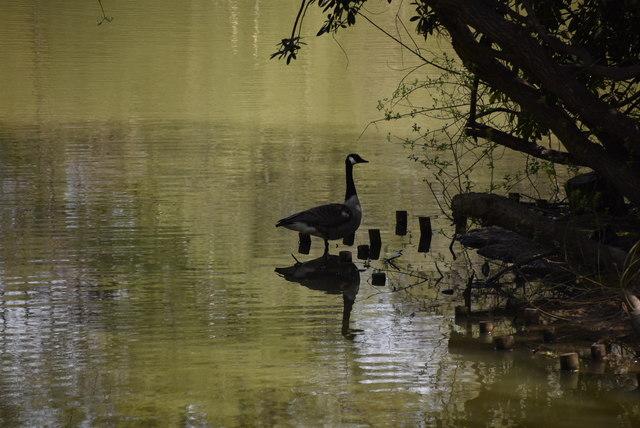 Goose, Sherwood Lake by N Chadwick