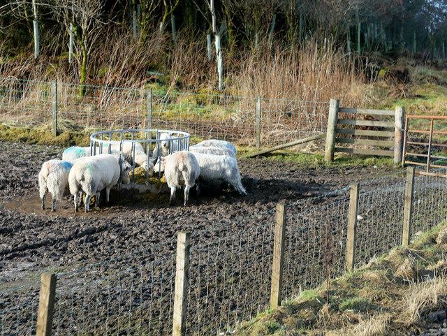 Sheep Feeding beside the A721