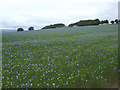 SE2246 : Flax field, Farnley Park by Stephen Craven