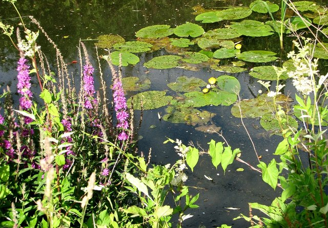 Purple loosestrife and water lilies