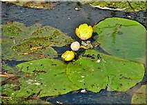 TG3204 : Yellow water lilies (Nuphar lutea) by Evelyn Simak